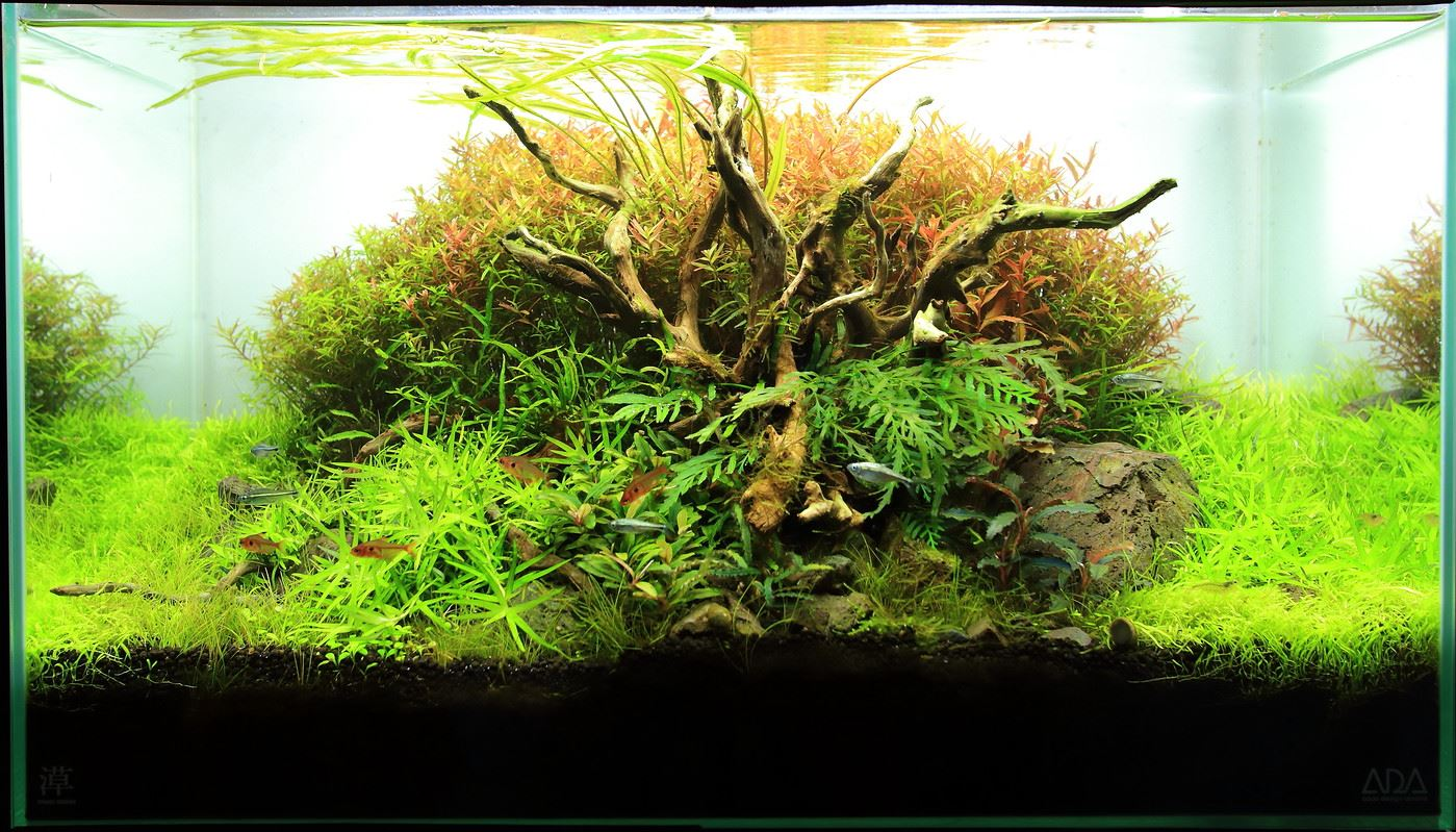 Cây thủy trúc được trồng ở vị trí tiền và trung cảnh trong hồ thủy sinh này
