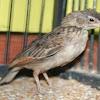 Cara Merawat Burung Branjangan Bakalan Di Musim Hujan