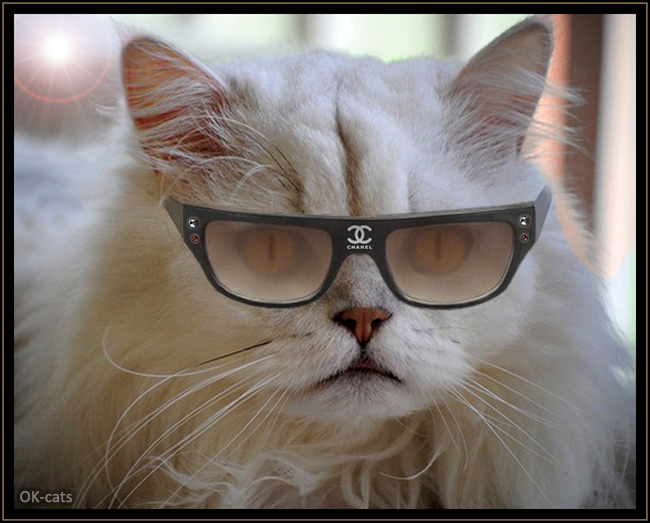 Photoshopped Cat picture • Arrogant Fashion victim wearing Chanel sunglasses. Haters Gonna Hate!