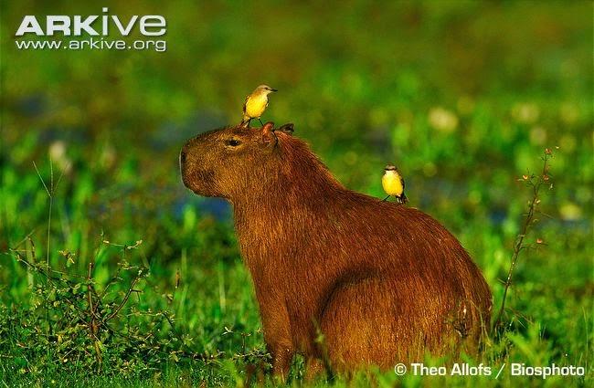 fauna of Argentina Capybara