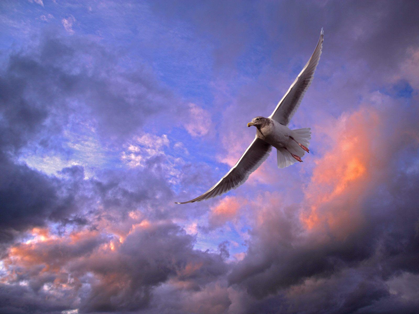 Wallpapers Hd Flying Birds Apple Animals Blue Sky Desktop: Wallpaper Collections: Gull Backgrounds