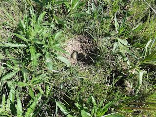 Гнездо большого кроншнепа