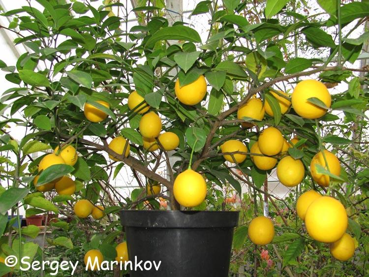 комнатный лимон болезни и вредители фото
