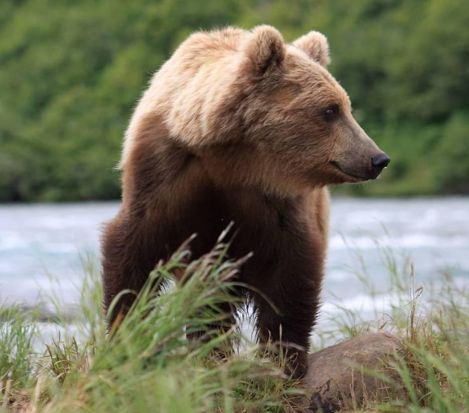The Brown Bear | Wildlife | All Wildlife Photographs