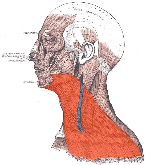Сколько мышц на шее человека. Анатомия мышц шеи. Качаемся ... | 700x620