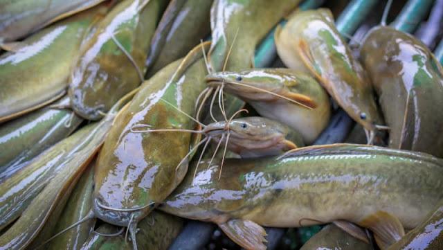 Sedang Trend Lele Higienis, Seperti Apa Budidaya Ikan Lele yang Bersih ini? Berikut Tips-tipsnya