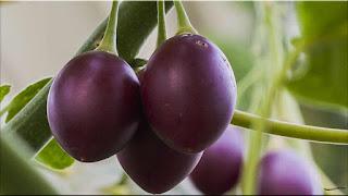 gambar buah terong belanda