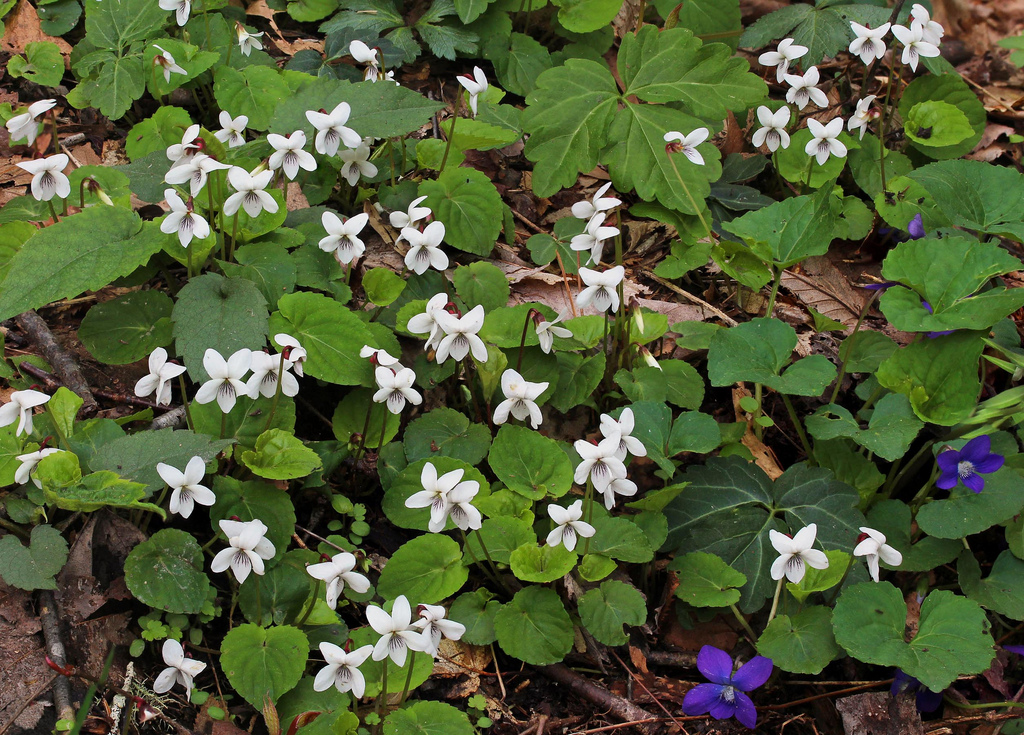 Mid Atlantic Nature: How to Identify the White Violets of ...