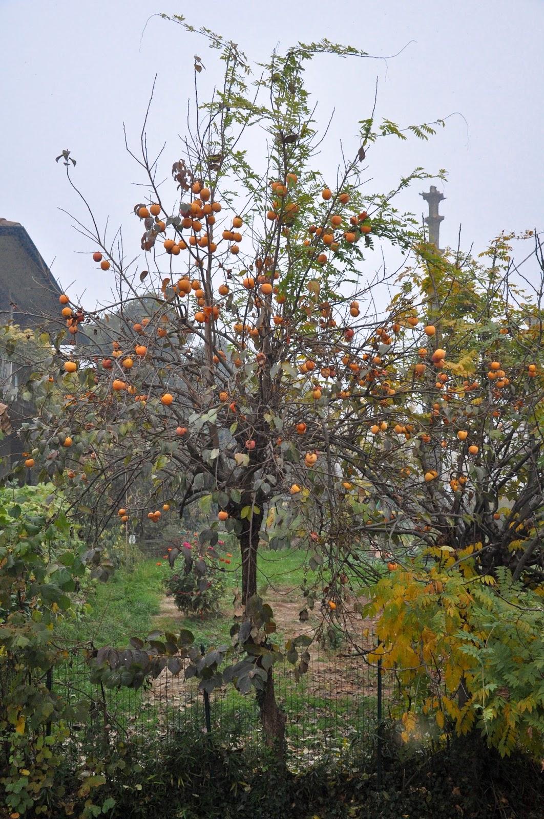 Persimmon tree, Caldogno, Italy
