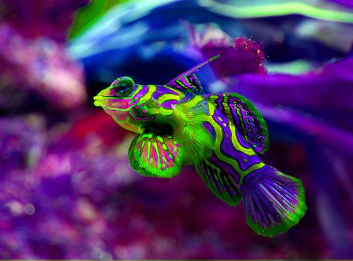 MandarinFish Ikan Paling Eksotis dan Berwarna yang Pernah