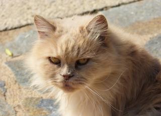 Jangan Tertipu saat beli kucing persia Dengan Harga Yang murah