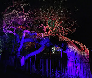 Pic of ancient tree, bent over and bathed in purple and red light