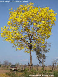 Paratodo Tabebuia aurea
