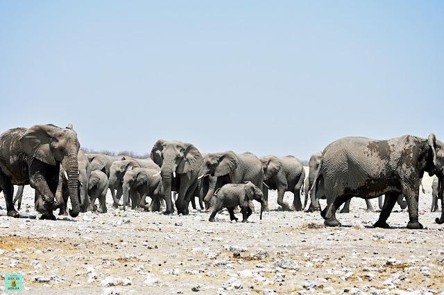 Manada de elefantes en Etosha, Namibia
