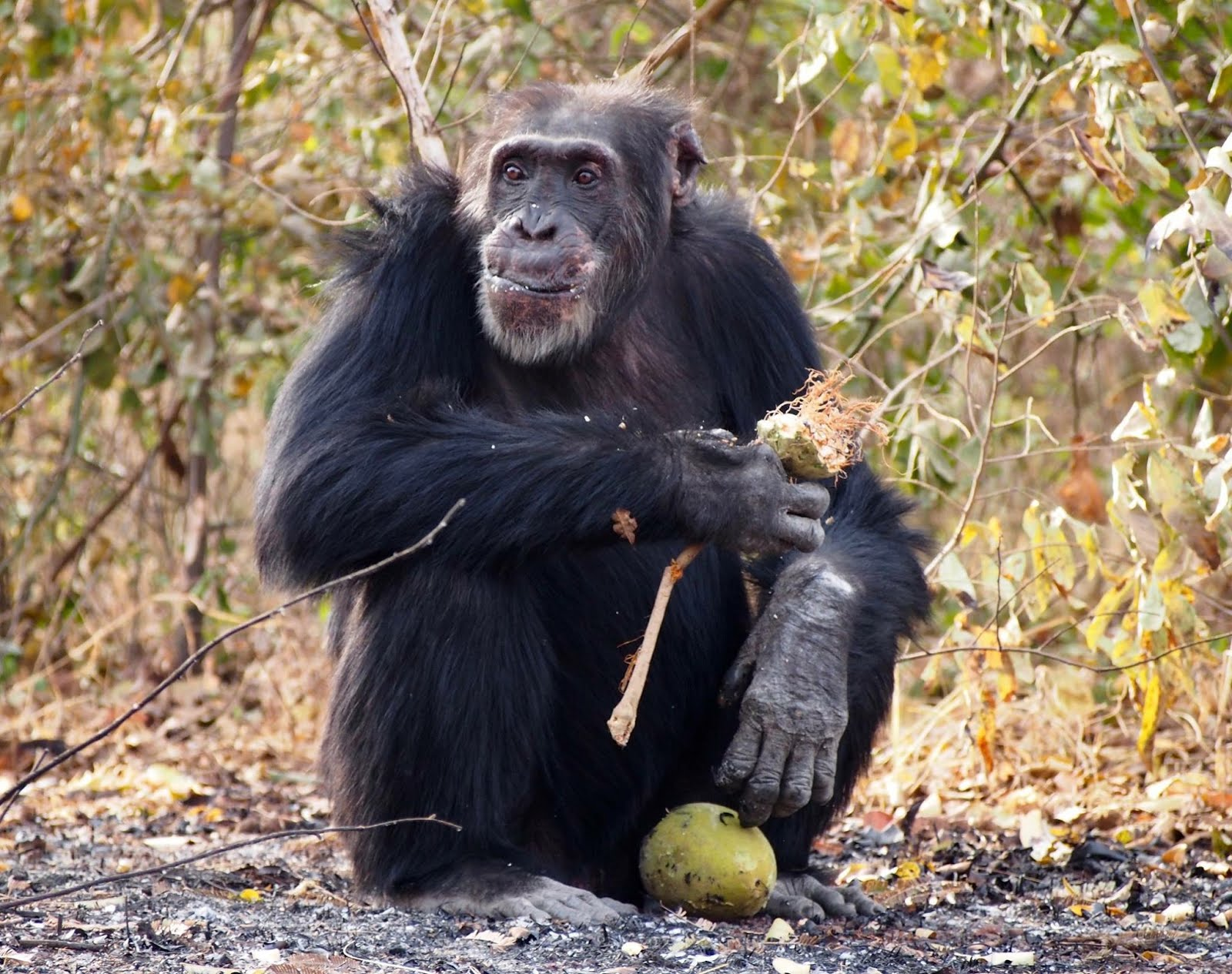 Fongoli chimp of the month