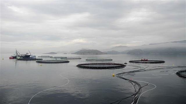 Surge of algae kills millions of salmon at Norwegian fish farms