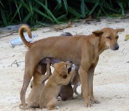 15++ Jenis anjing kampung pemburu terbaru