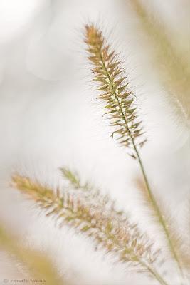 Gräsergarten mit Pennisetum Hameln - Lampenputzergras
