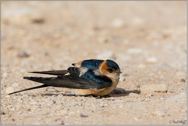 Red rumped+Swallow
