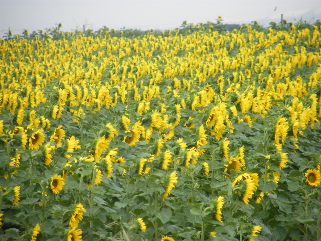 It seems to me that these sunflowers are in the midst of some animated conversation.