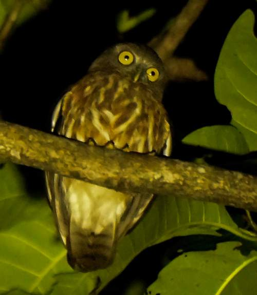 Indian birds - Image of Andaman hawk-owl - Ninox affinis