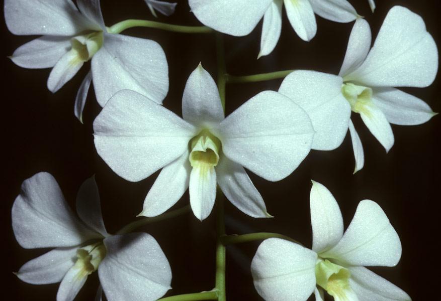 Tissue Culture And Orchidologi Mengenal Anggrek Larat
