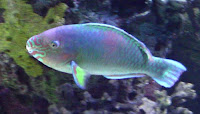 Toronto Zoo Fish. (Quoy's Parrotfish)