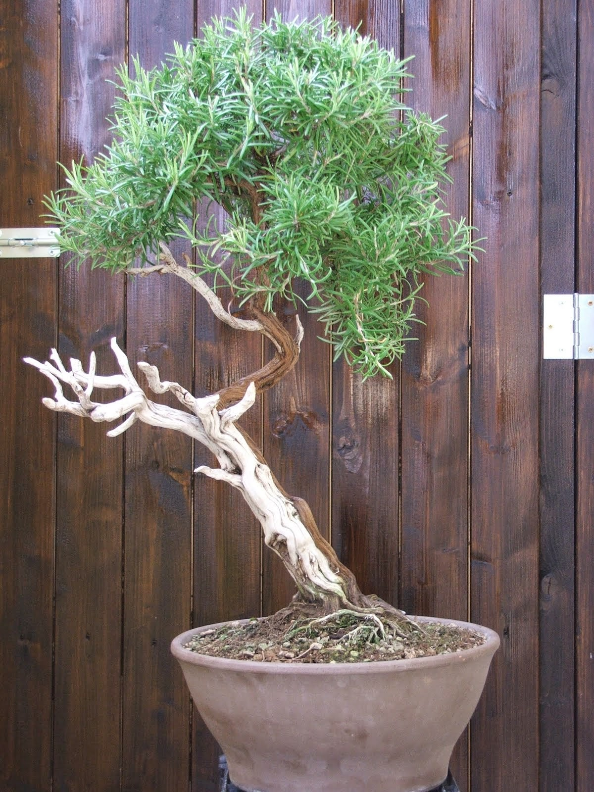 http://evoluzionebonsai.blogspot.it/2012/01/rosmarinus-officinalis-prostrato.html