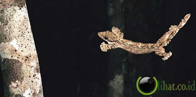 Cicak Terbang (flying gecko)
