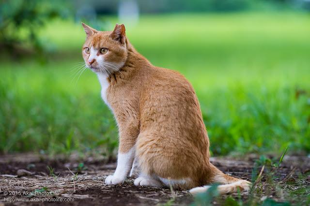 キリリとした茶トラの猫