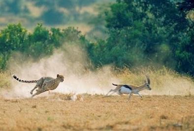 Cheetah mengejar mangsa