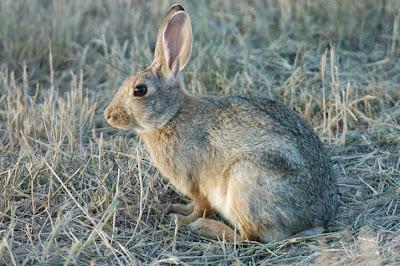 conejo desertico Sylvilagus audubonii