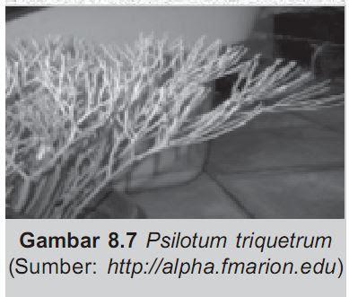 Psilotum triquetrum