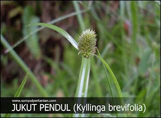 JUKUT PENDUL (Kyllinga brevifolia) | Manfaat dan cara mengolahnya