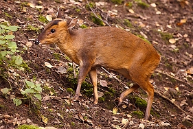 Reeves' Muntjac deer