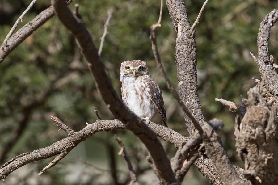 Little Owl – An Namas