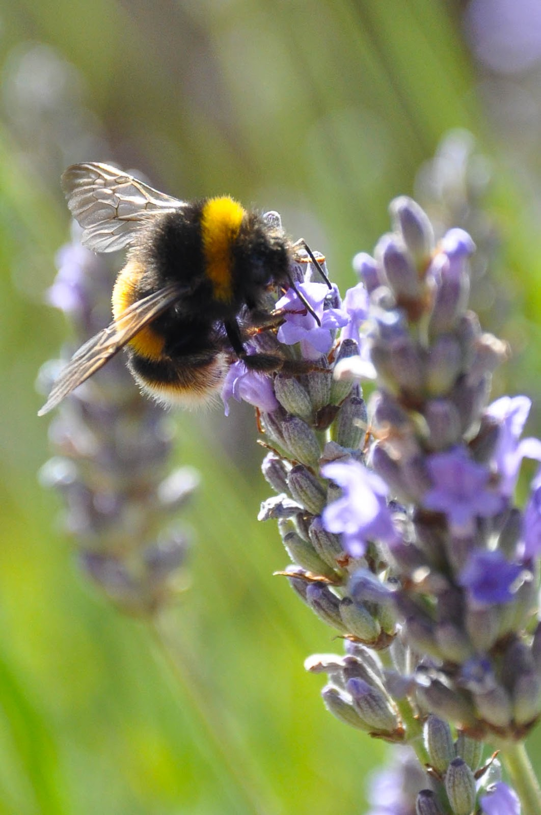 Bee on a lavender sprig, Carisbrook Castle, Isle of Wight, UK