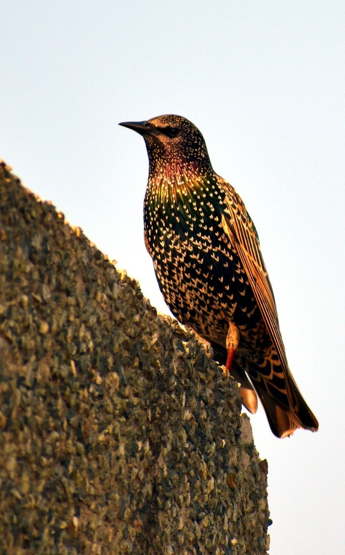 European starling bird.