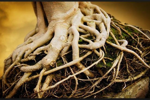 Sifat dan Fungsi Akar Bagi Tumbuhan