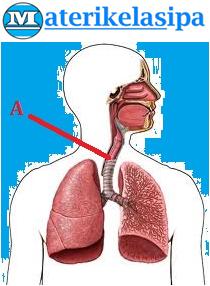 Contoh soal gambar organ pernapasan manusia