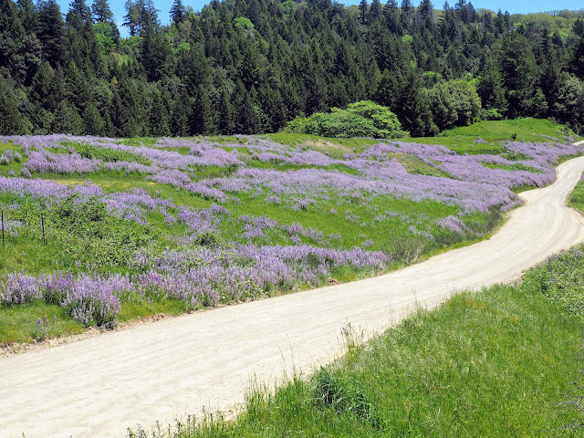 Dirt road lined with lupine