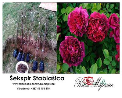 Stablašica ruža Šekspir