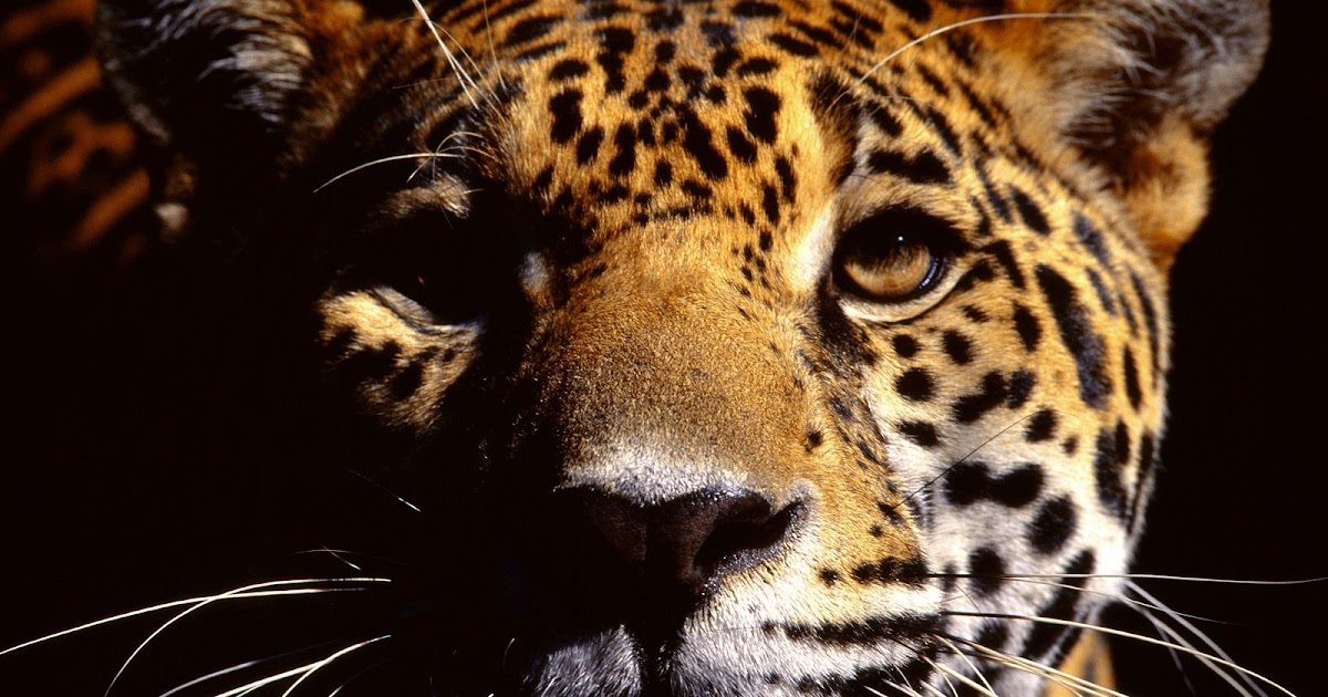 the characteristics of a jaguar a feline in the panthera genus native to the americas The puma is the big cat of the americas  genus: puma (changed in 1993  jaguar facts: biggest cat in americas livescience.