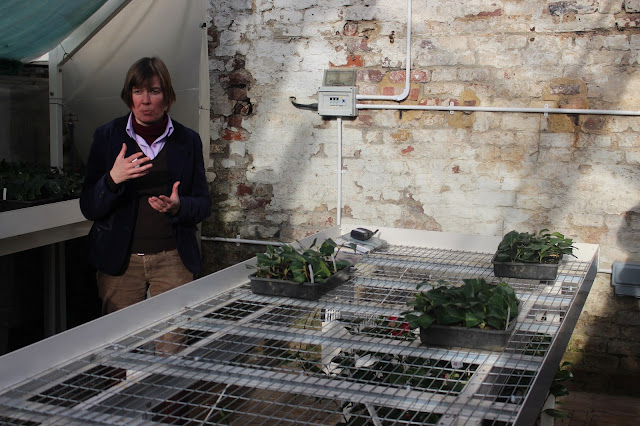 Geraldine King in the camellia propagation unit