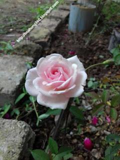 hoa hồng đào