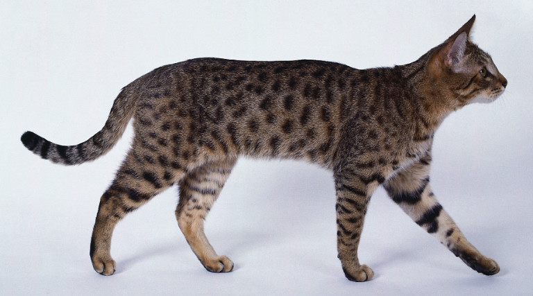 California Spangled Cat | Fun Animals Wiki, Videos, Pictures, Stories