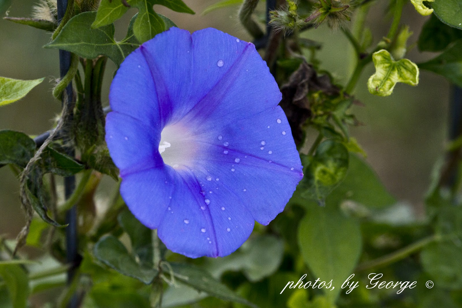 Whats blooming now ivy leaved morning glory ipomoea hederacea ivy leaved morning glory ipomoea hederacea izmirmasajfo