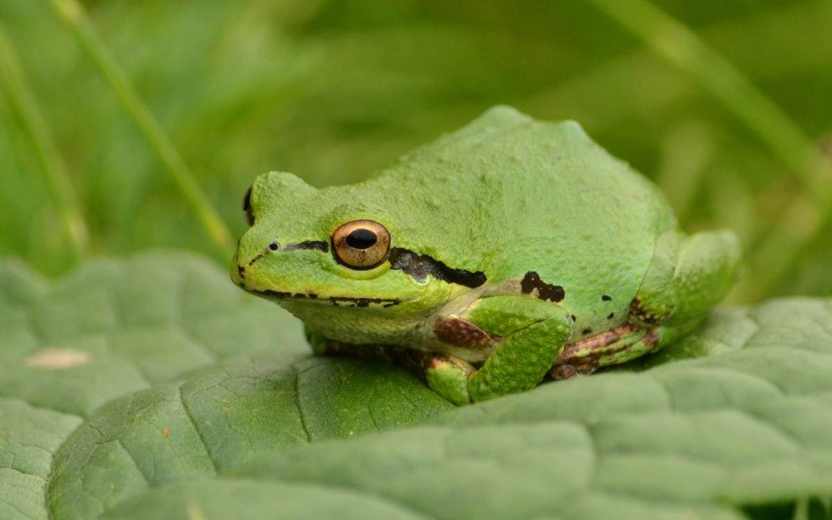 Woods Walks and Wildlife: Pacific Tree Frogs