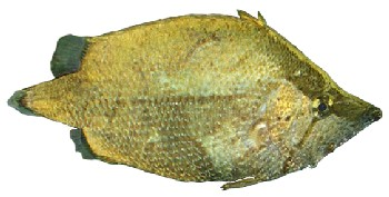 Peixe-Folha (Monocirrhus polyacanthus)