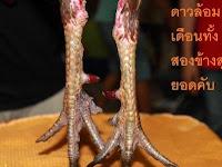Sisik Kaki Ayam Pembunuh Asli Thailand